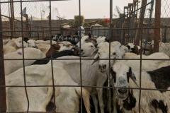Visual kambing-kambing yang bersediai untuk di qurbankan